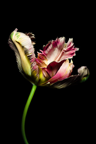 Parrot tulip flower against black background
