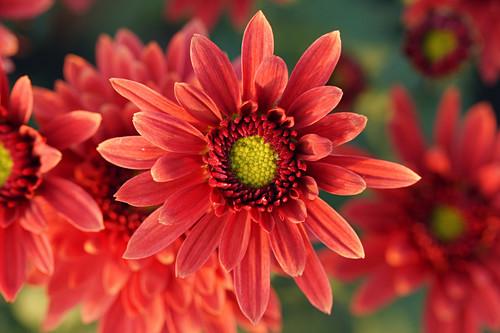Rote Chrysanthemenblüte