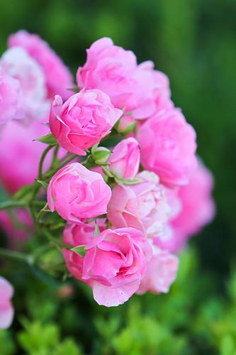 Blüten von Rose 'Bayernland'