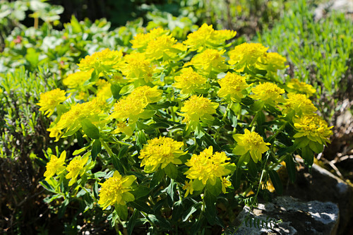 Flowering cushion spurge
