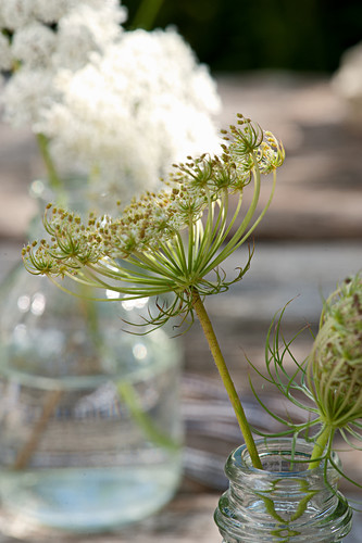 Faded Queen Anne's lace umbel