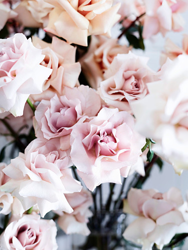 Fragrant English roses by 'David Austin'