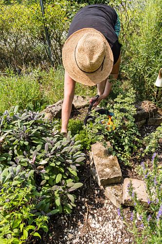 Woman picking purple sage from herb garden
