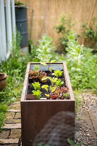 Raised Bed Planted With Salad And Eggplant