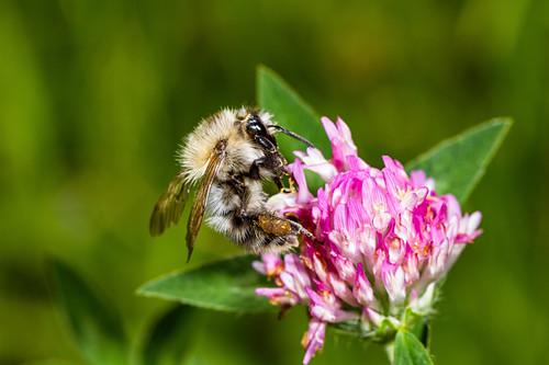 Wild Bee at flower, Bavaria, Germany