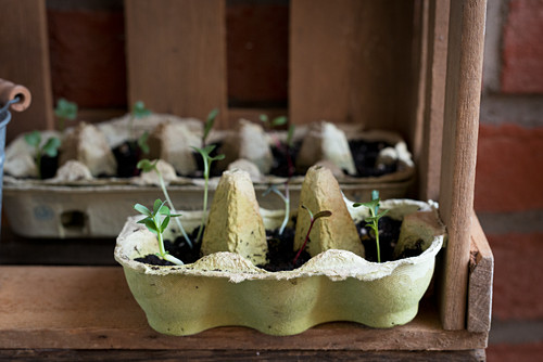 Seedlings sprouting in egg boxes