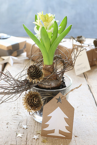 Arrangement of flowering hyacinth in glass pot decorated with larch cones