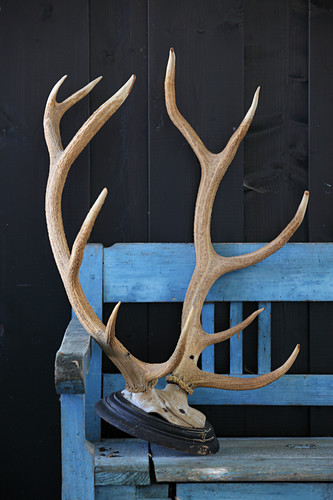 Stag's antlers on wooden bench