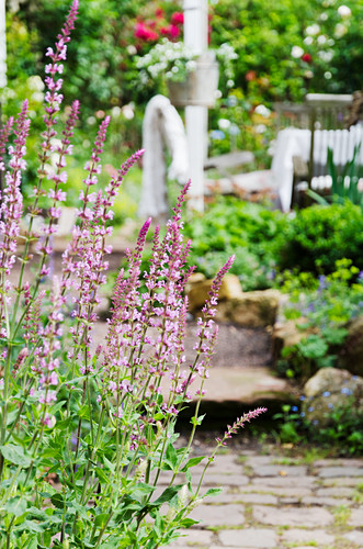 Purple-flowering salvia in garden