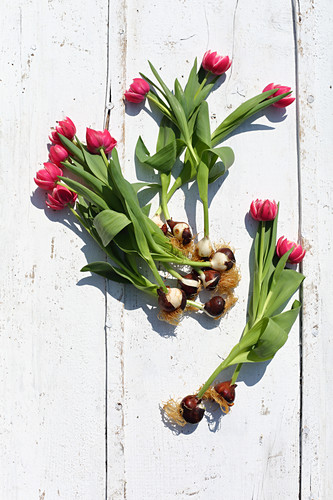 Pink tulips with bulbs on white boards