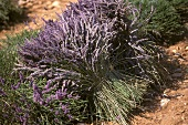 Abgeschnittener Lavendel
