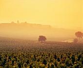 Morgennebel über Moulin-a-Vent im Beaujolais, Burgund