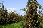 Apfelplantage in Bayern (Bodenseeäpfel)
