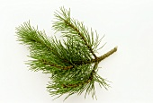A twig of dwarf pine