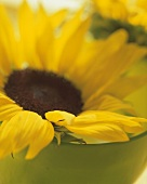 Sunflower; Closeup