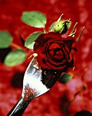 Red rose on fork