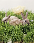 Easter bunny (live rabbit) and eggs in grass