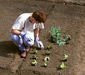 Frau setzt vorgezogene Jungpflanzen ins Freiland