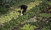 Lettuce being picked