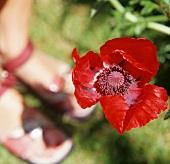 Poppies (Oriental poppy) outdoors