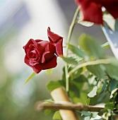 Rote Rosenblüte am Zweig