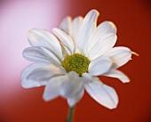 weiße Chrysanthemenblüte