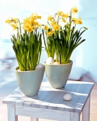 Narcissi in flowerpots surrounded by eggs
