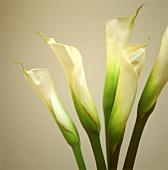 Callas (Arum lilies)