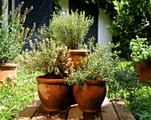 Fresh herbs in large terracotta pots in garden