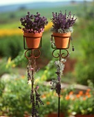 Two pots of lavender on flower stands in garden