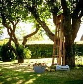 Bowl of apples and a ladder under an apple tree
