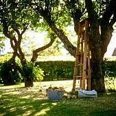 Schüssel mit Äpfeln und eine Leiter unterm Apfelbaum