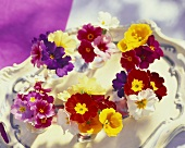 Primulas as table decoration