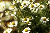 Wild chamomile (Matricaria chamomilla)