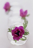 Anemone in glass vase