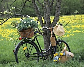 Bicycle with marguerites by tree, picnic basket in front