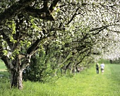 Walking under flowering apple trees
