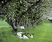 Chair and champagne under flowering apple tree