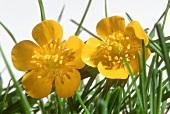 Buttercup flowers (Ranunculus acris, slightly poisonous)
