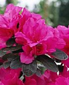 Pinkfarbene Azalee, Nahaufnahme