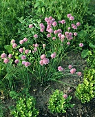 Chives with flowers in garden