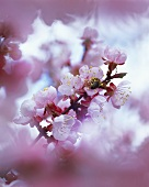 Branch of flowering cherry tree (soft-focus lens)