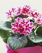 Pink African violets (close-up)