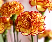 Two-coloured carnations