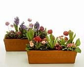 Terracotta containers with spring flowers