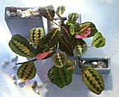 Maranta with striking leaf markings from above