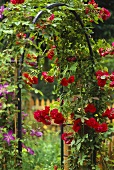 Rose arch with red roses in garden