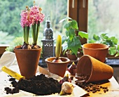 Planting hyacinth bulbs: soil, trowel etc.
