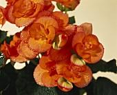 Apricotfarbene Begonienblüten mit Wassertropfen, Nahaufnahme