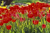 Lots of red tulips in open air